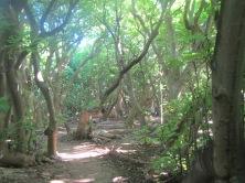 Pisonia Forest