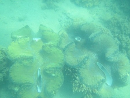 Giant clams in Geoffrey Bay