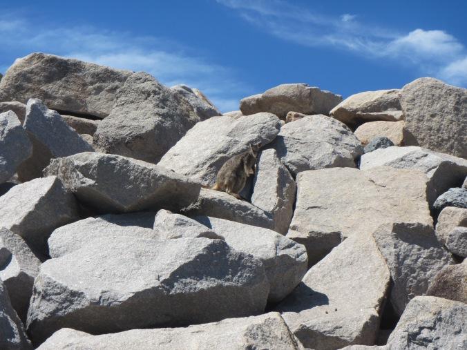 Spot the rock wallaby on the marina breakwall