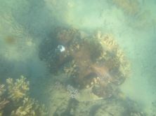 Giant Clam - lonely though!