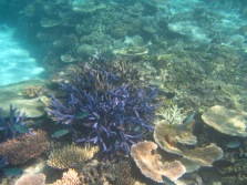 lavender coral