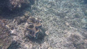 giant clam at Upolu reef