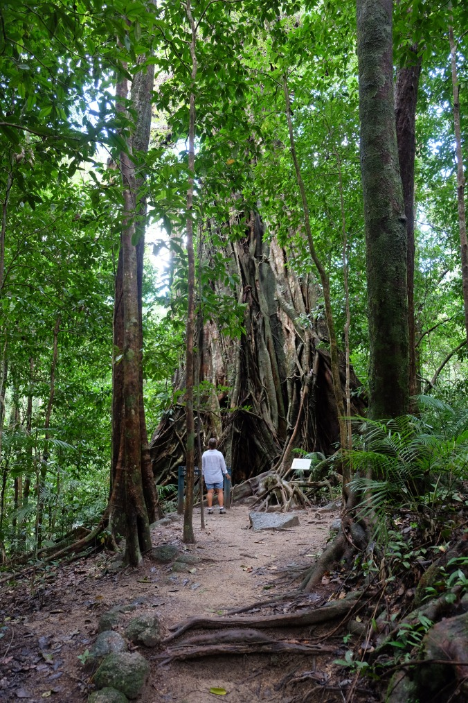 Bigger Mossman Gorge Fig and the Admiral